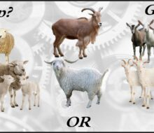 Sheep, Goats, (or Cattle) in Scripture